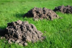 Damage done to a yard that has moles. Tips for getting rid of moles by Turf Solutions.
